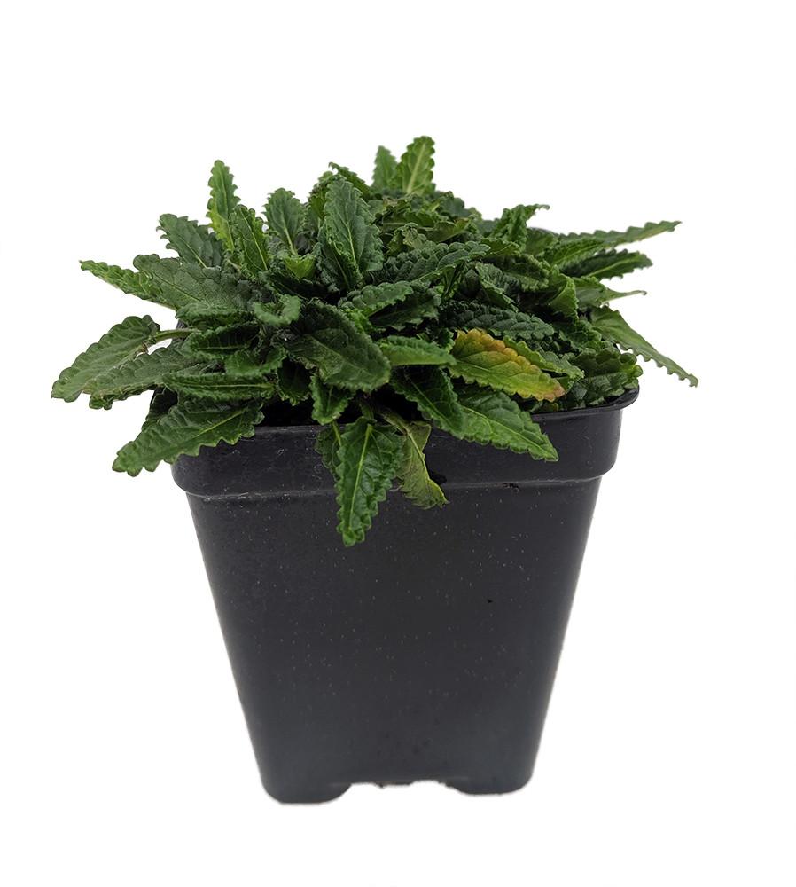 "Dwarf Betony - Stachys minima - 2.5"" Pot - Terrarium/Fairy Garden/House Plant"