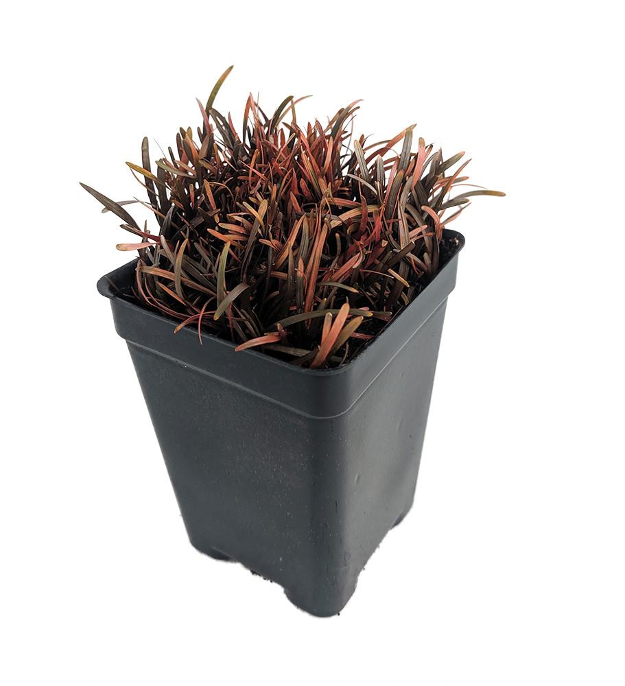 "Amazing Chocolate Bar Plant - Carex berggrenii - 2.5"" Pot - Indoors or Out"