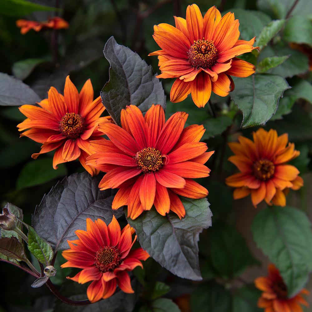 Bleeding Hearts Heliopsis Perennial - Fire-Red Blooms - Gallon Pot