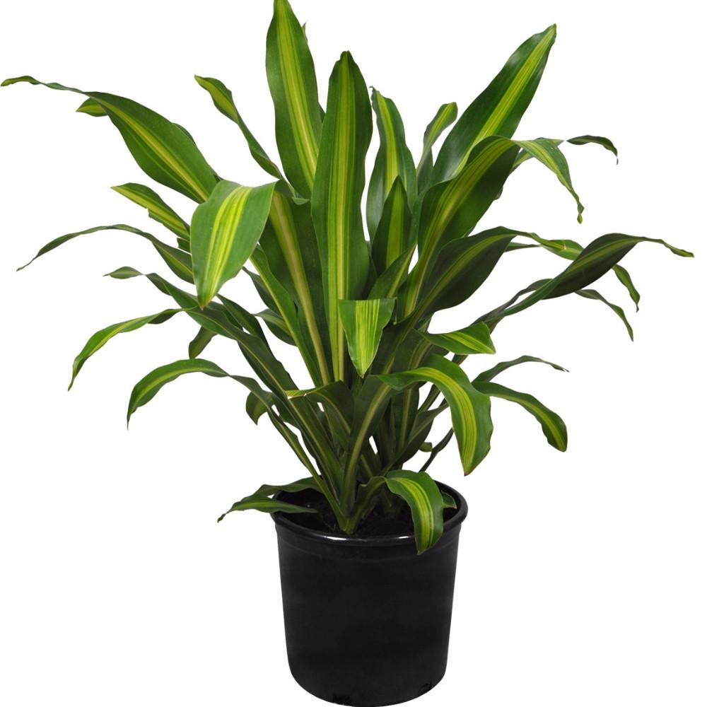 "Gigantic Madagascar Dragon Tree - Dracaena - 4"" Pot - Easy to Grow House Plant"