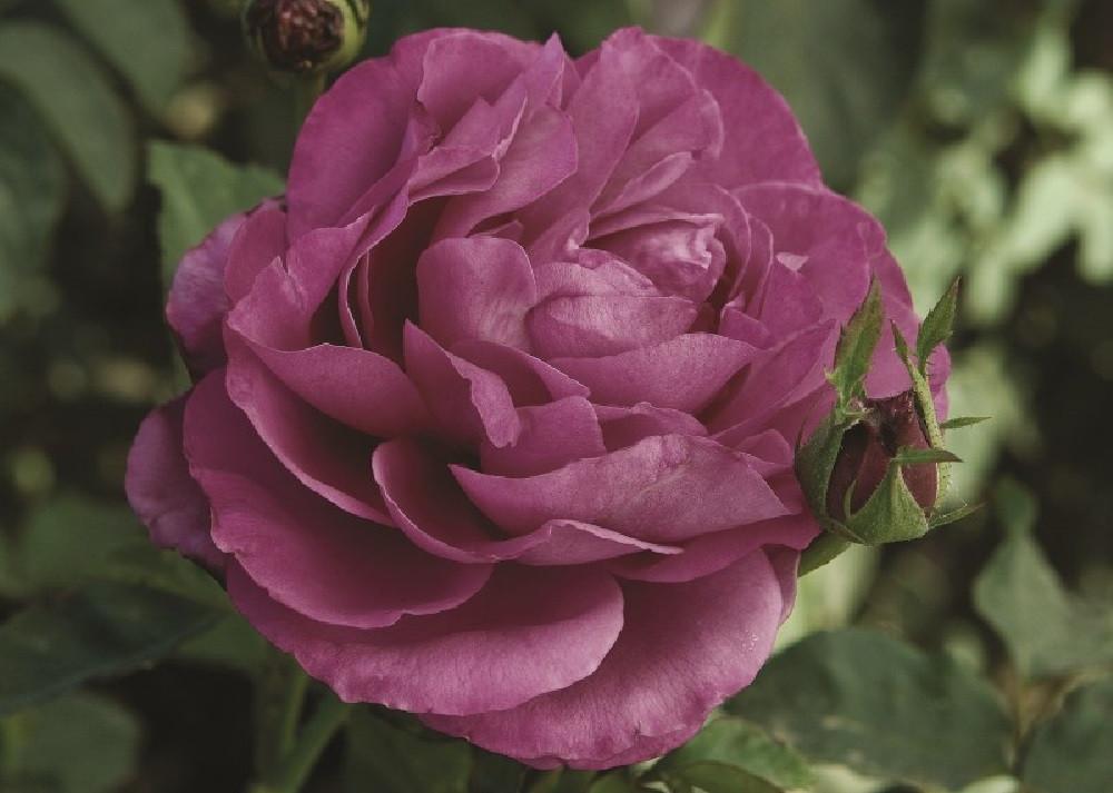 """Heirloom Garden Rose - Lilac-Lavender Blooms - 4"""" Pot"""