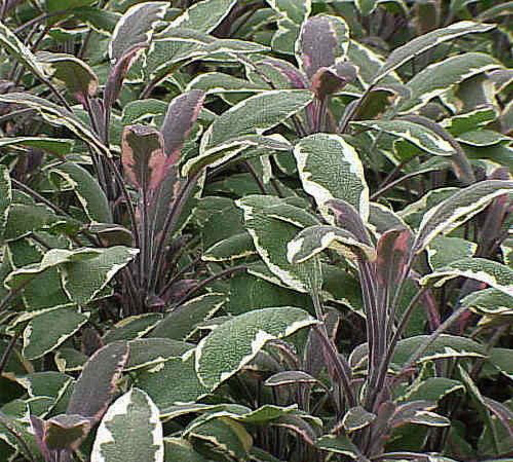 """Tricolor Sage Herb - Grow Indoors/Out - 3"""" Pot"""