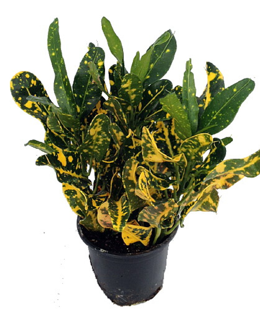 "Banana Croton - 2 Pack 3"" Pots - Colorful House Plant - Easy to Grow"