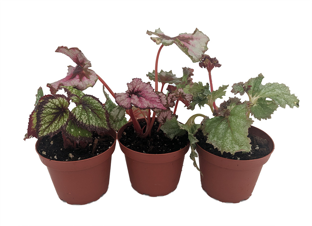 "Assorted Rex Begonia Plants - 3 Plants - 4"" Pots - Great Houseplant"