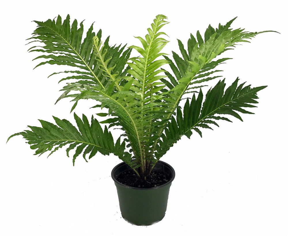 "Brazilian Tree Fern - Blechum brasiliense - Exotic - Dwarf - 6"" Pot"