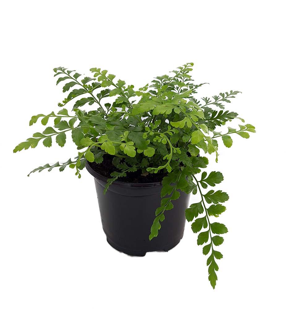 """Austral Gem Fern - 6"""" Pot - Asplenium dimorphum - Easy to Grow House Plant"""