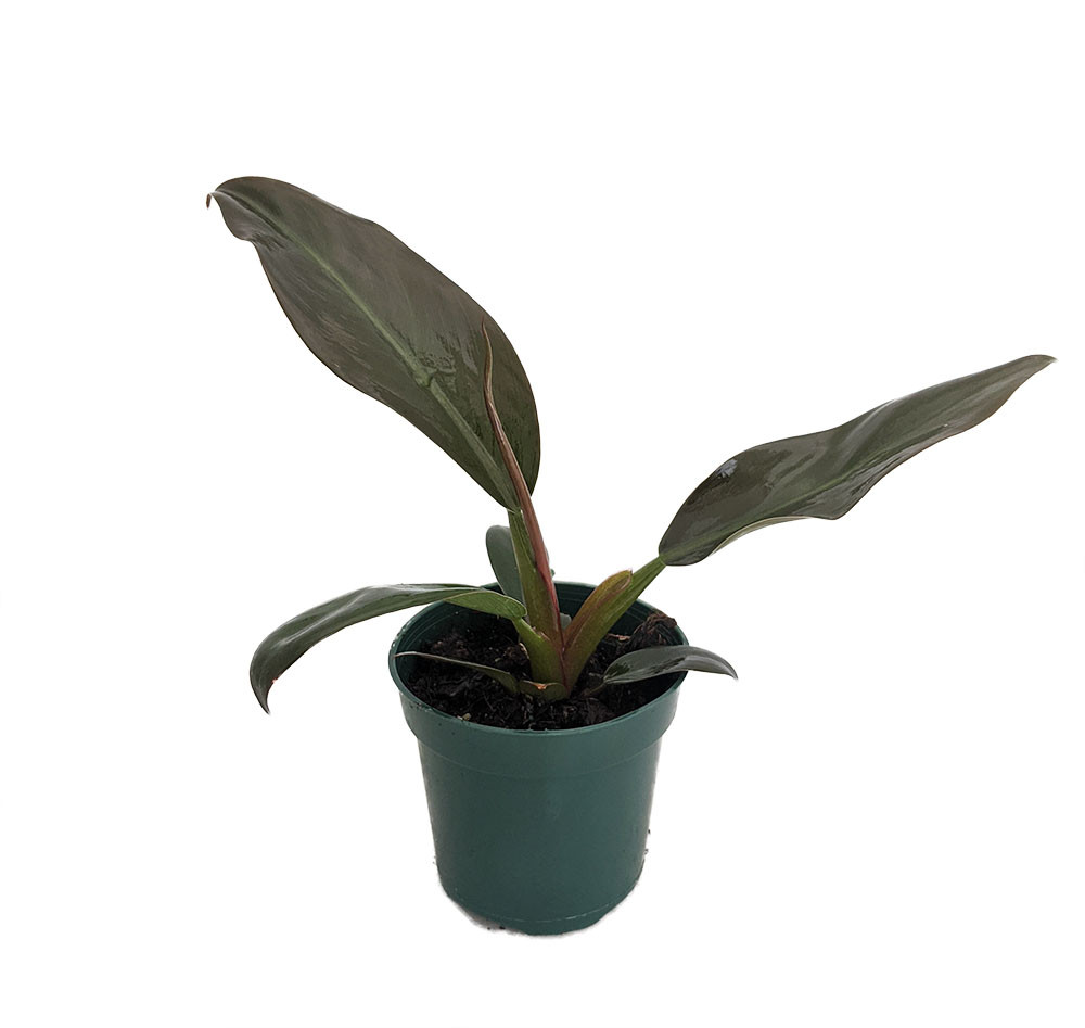 """Imperial Red Philodendron - From Our Collector's Series - 4"""" Pot"""