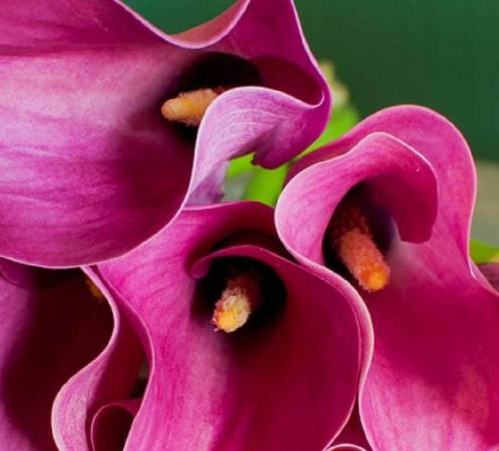 Zazu Supreme Calla Lily Bulb 14/16cm - Vivid Pink