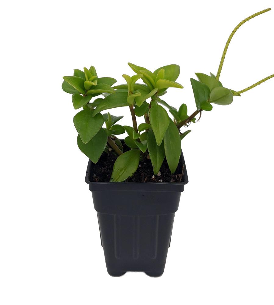 """Amigo Marcello Peperomia - 2.5"""" Pot  - Easy to Grow Houseplant"""
