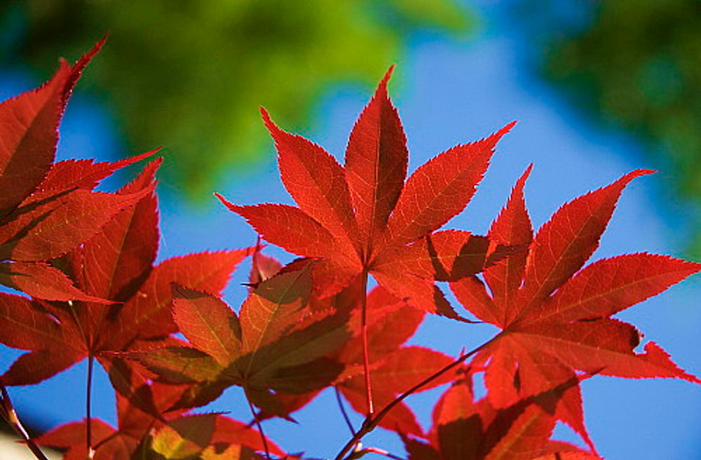 "Bloodgood Japanese Maple - Bonsai or Outdoors - Acer palmatum - 5.5"" Pot"