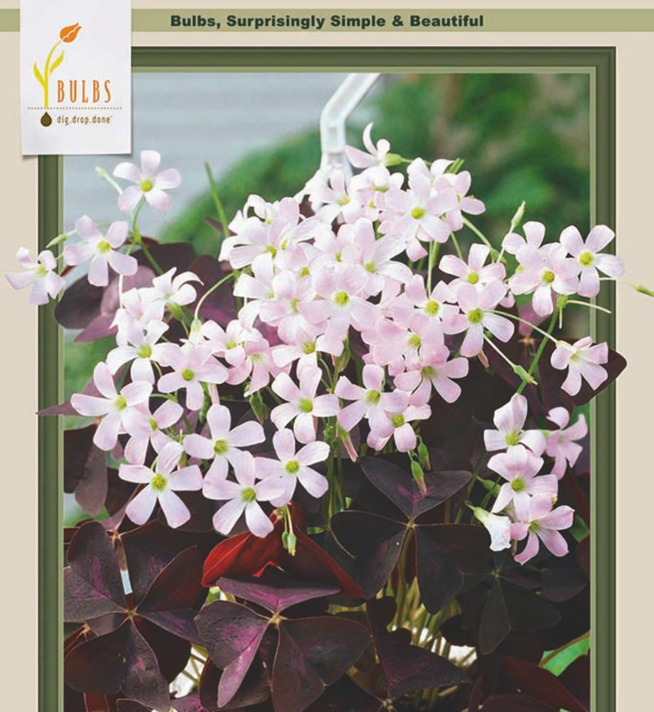 Purple Rain Shamrock - The Love Plant - Edible - Oxalis triangularis 5 Bulbs