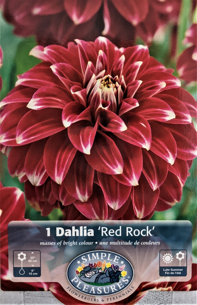 Red Rock Decorative Dahlia - #1 Size Root Clump