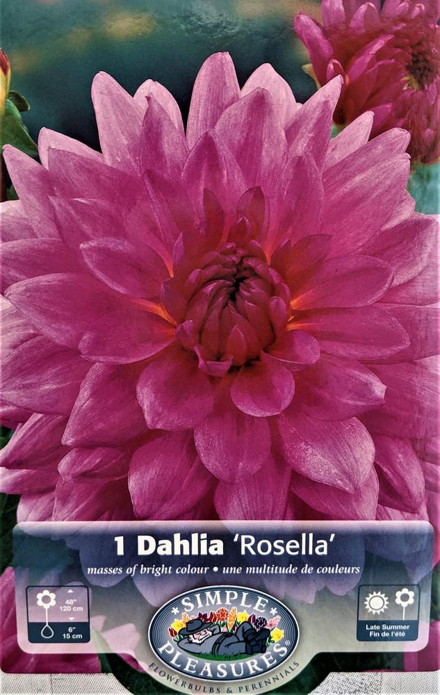 Rosella Decorative Dahlia - Elegant Vibrant Pink! - #1 Size Root Clump