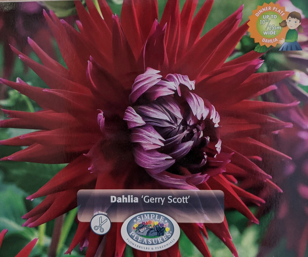 """Gerry Scott Cactus Dahlia 2 Root Clumps - #1 Size - 8 to 10"""" Garnet Red Flowers"""