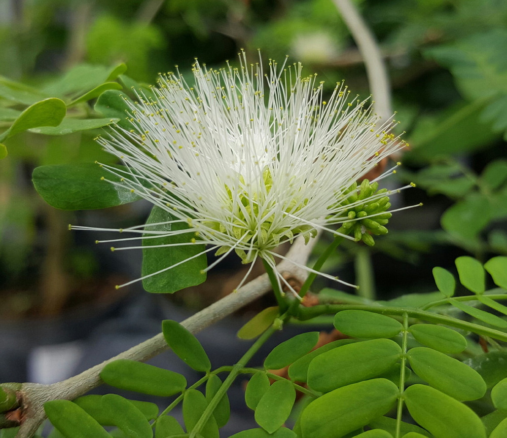"Brazilian Rain Tree - Pithecellobium - Living Weatherman - Easy to Grow! -6"" Pot"