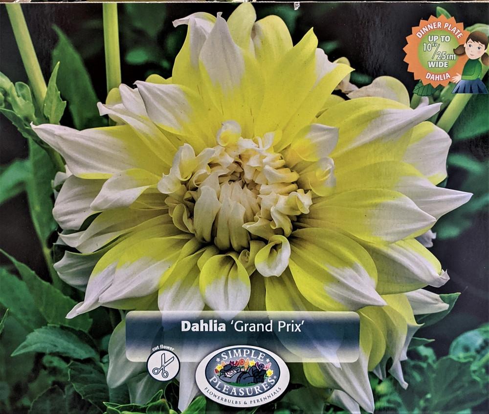 Grand Prix Decorative Dahlia - 2 Tubers Root Clumps - Lemon Yellow!