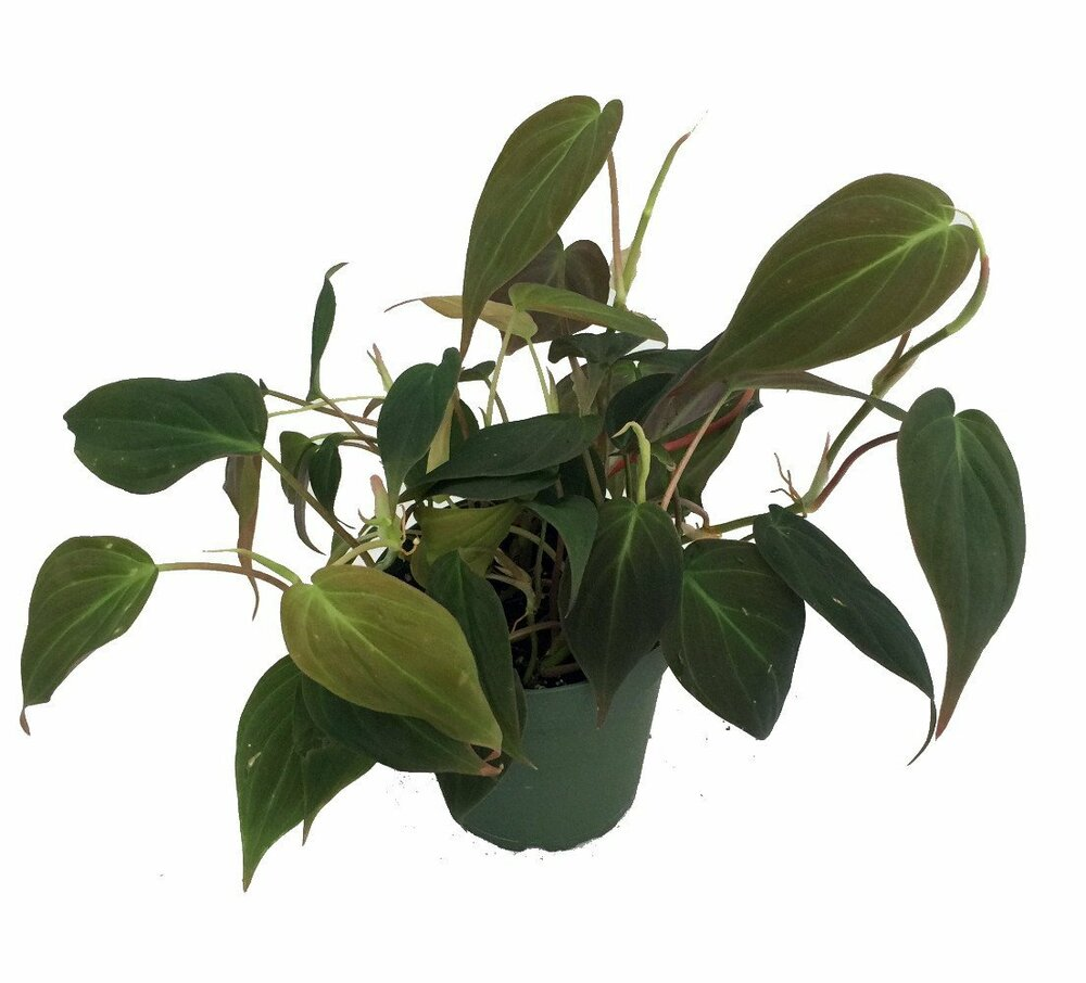 "Rare Velvet Leaf Bronze Micans Vine - Philodendron - 4"" Pot - Collector's Series"