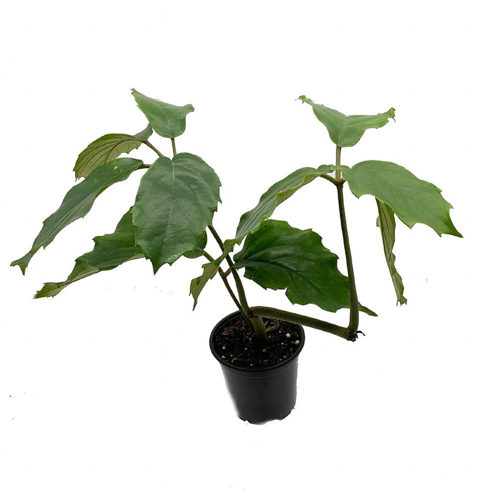 "Amazing Lizard Vine - Tetrastigma - World's Fastest Growing House Plant - 4"" Pot"