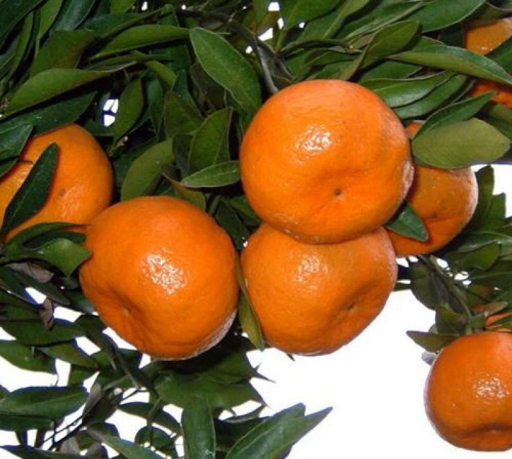 """Ponkan Mandarin Tangerine Tree - No Ship Tx, Fl, Az, Ca, La, Hi - 4""""x12"""" Pot"""