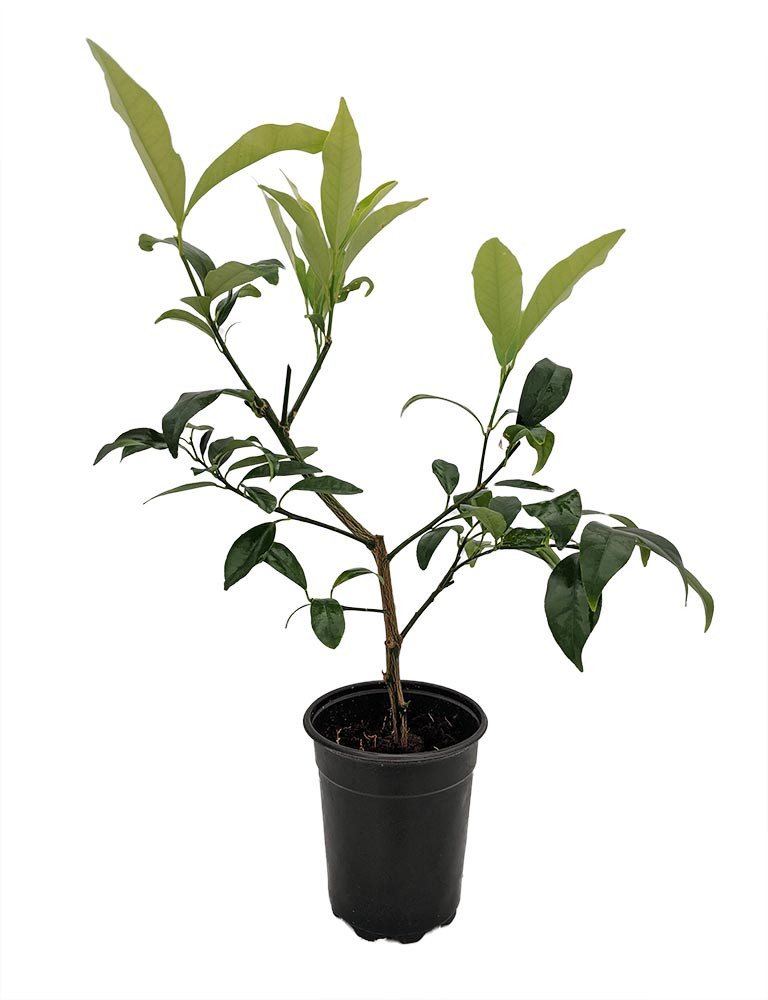 "Centennial Kumquat Tree-Fruiting Size - 5"" Pot- No Ship to TX, FL, AZ, CA, LA,HI"