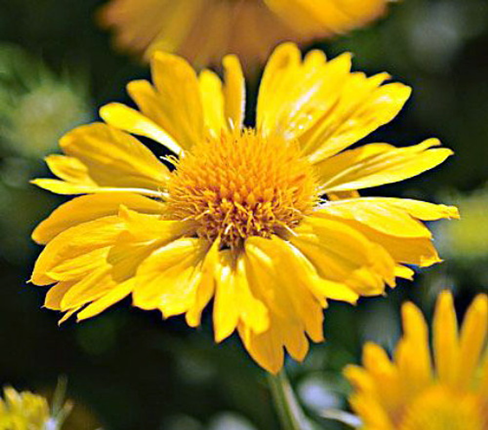 'Mesa Yellow' Blanket Flower - Gaillardia - 2010 AAS Winner - One Gallon Pot