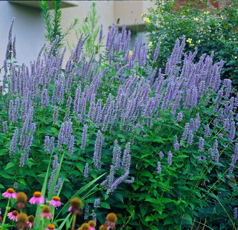 Blue Fortune Hummingbird Mint- Agastache- Anise Hyssop- Live Plant - Gallon Pot