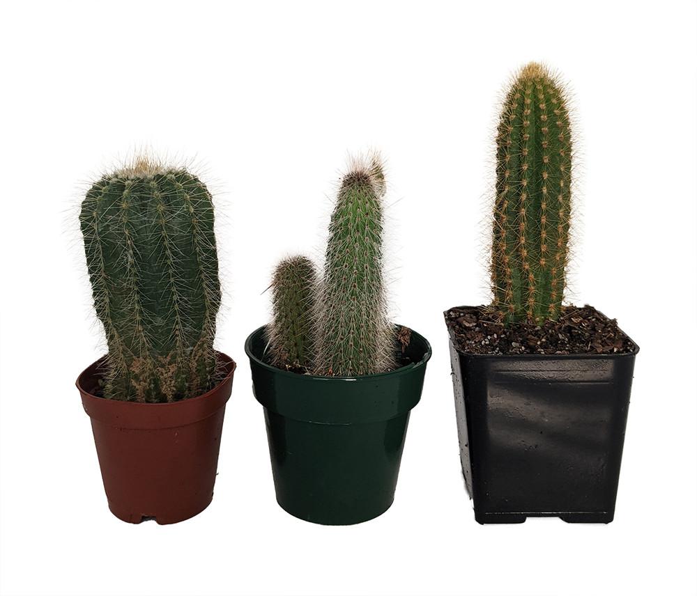 """Instant Cactus Collection - 3 Different Plants - 2.5"""" Pots"""