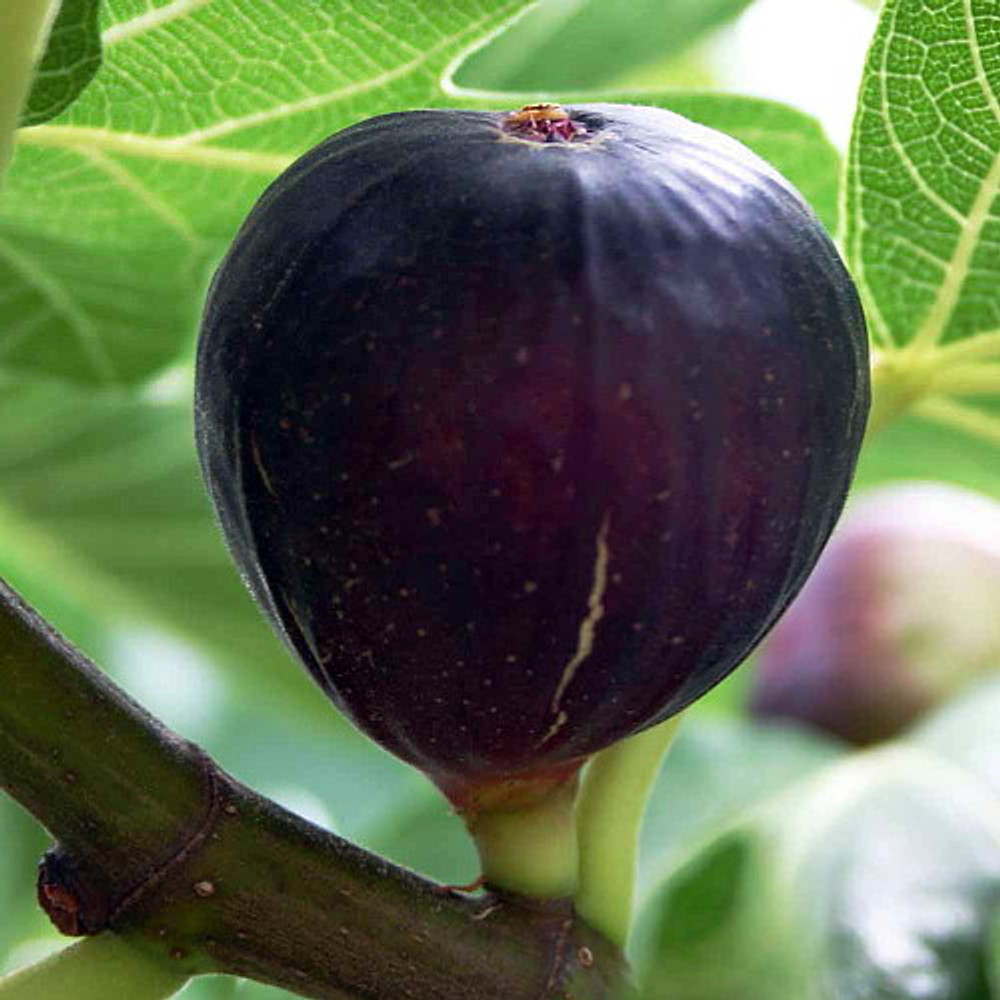 """Hirt's Violet De Bordeaux Negronne Edible Fig Plant - Ficus carica - 2.5"""" Pot"""