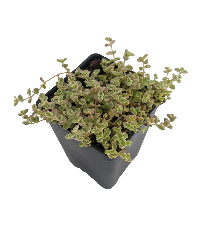 """Mini Kitty Jade - Crassula - 2.5"""" Pot - Terrarium/Fairy Garden"""
