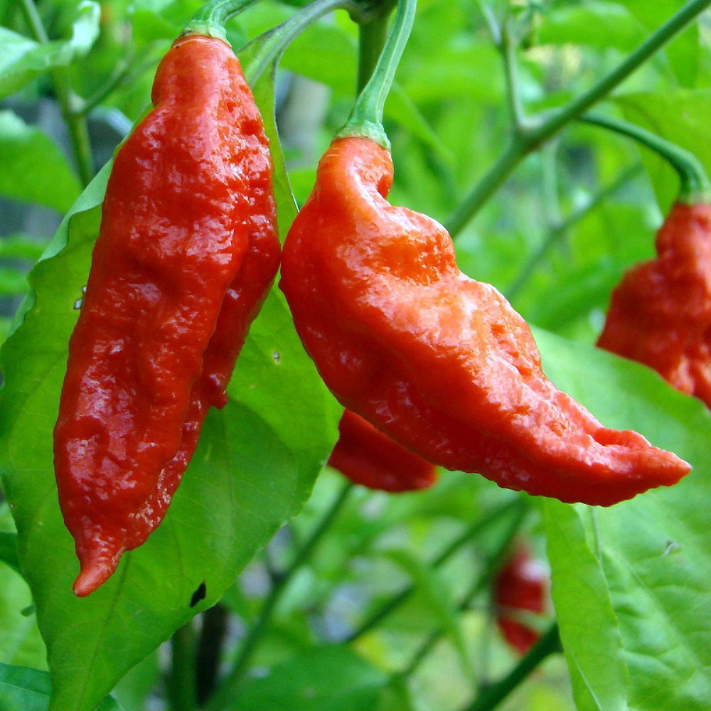 "Bhut Jolokia Chile Pepper 3 Live Plants - 3"" Pots - Ghost Pepper -  Flaming Hot!"