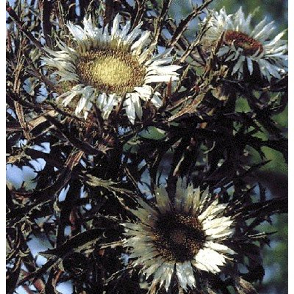 Bronze Weather Thistle 10 Seed - Carlina - Perennial