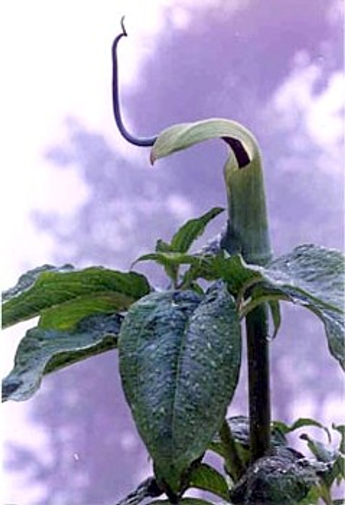 Himalayan Jack-in-the-Pulpit 10 Seed-Arisaema-Perennial
