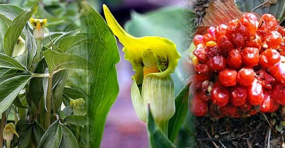 Giant Yellow Jack-in-the-Pulpit 10 Seed-Arisaema flavum
