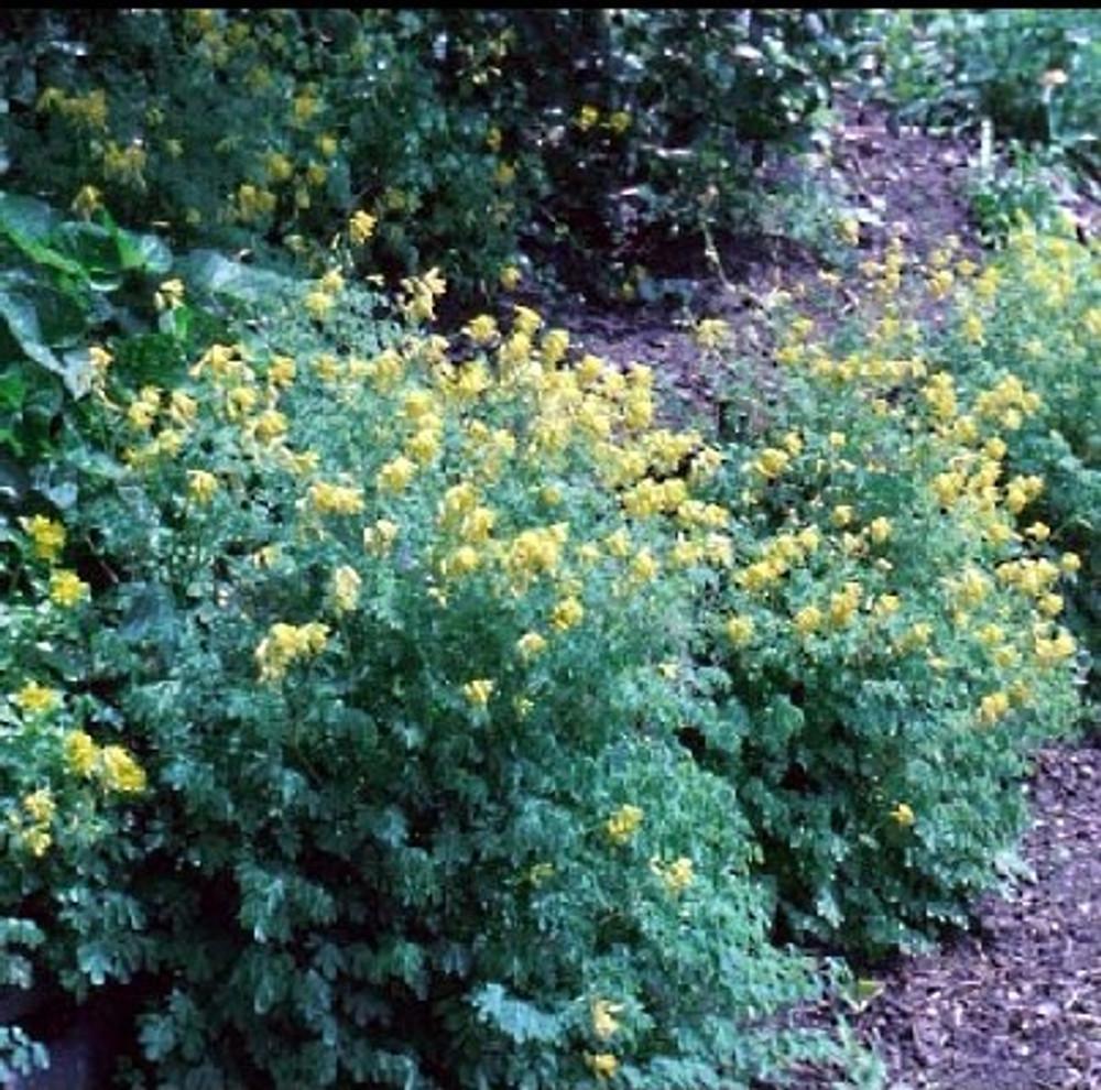 Golden Bleeding Heart 30 Seed-Corydalis-Shade Perennial