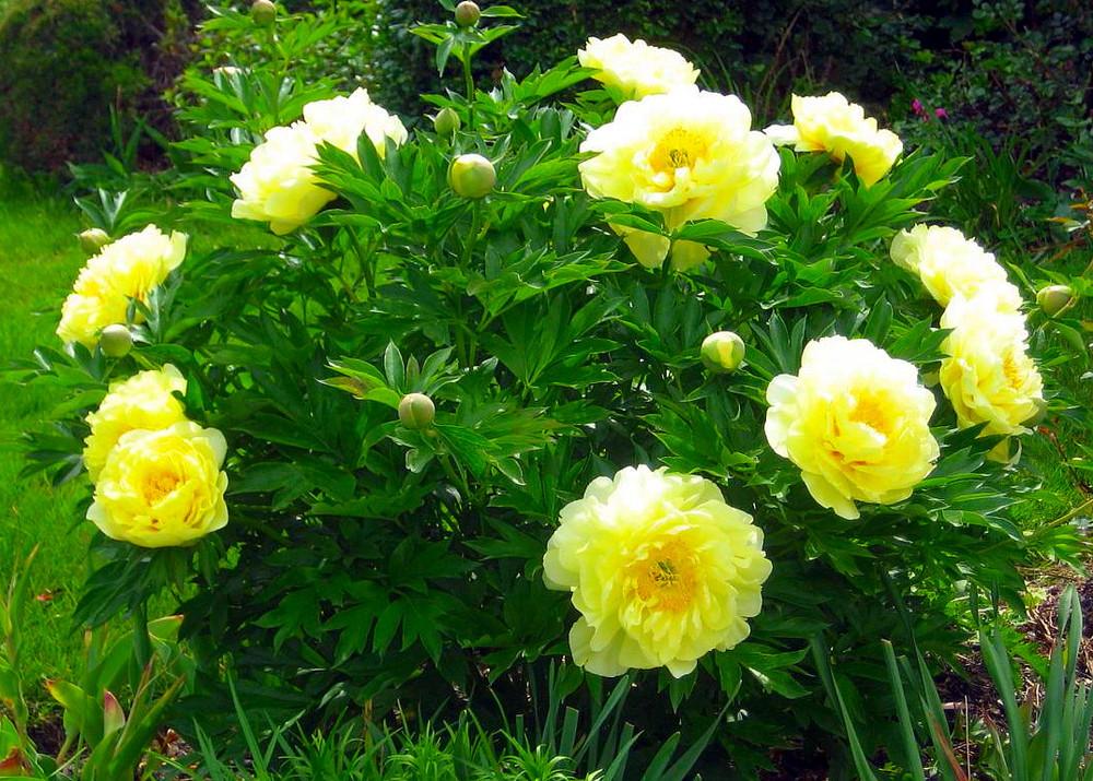 Bartzella Intersectional ITOH Tree Peony- Lemon Yellow Blooms - 2-3 Eye Bareroot