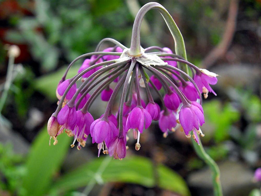 Flowering Nodding Onion 50 Seed - Allium cernum - Perennial