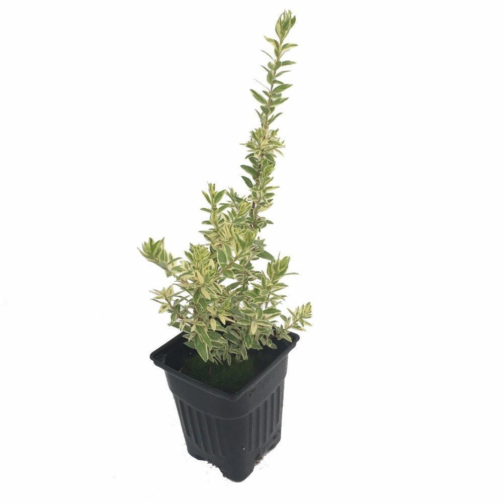 "Variegated Biblical Myrtle Plant - Myrtus - Ancient Herb - 4"" Pot"