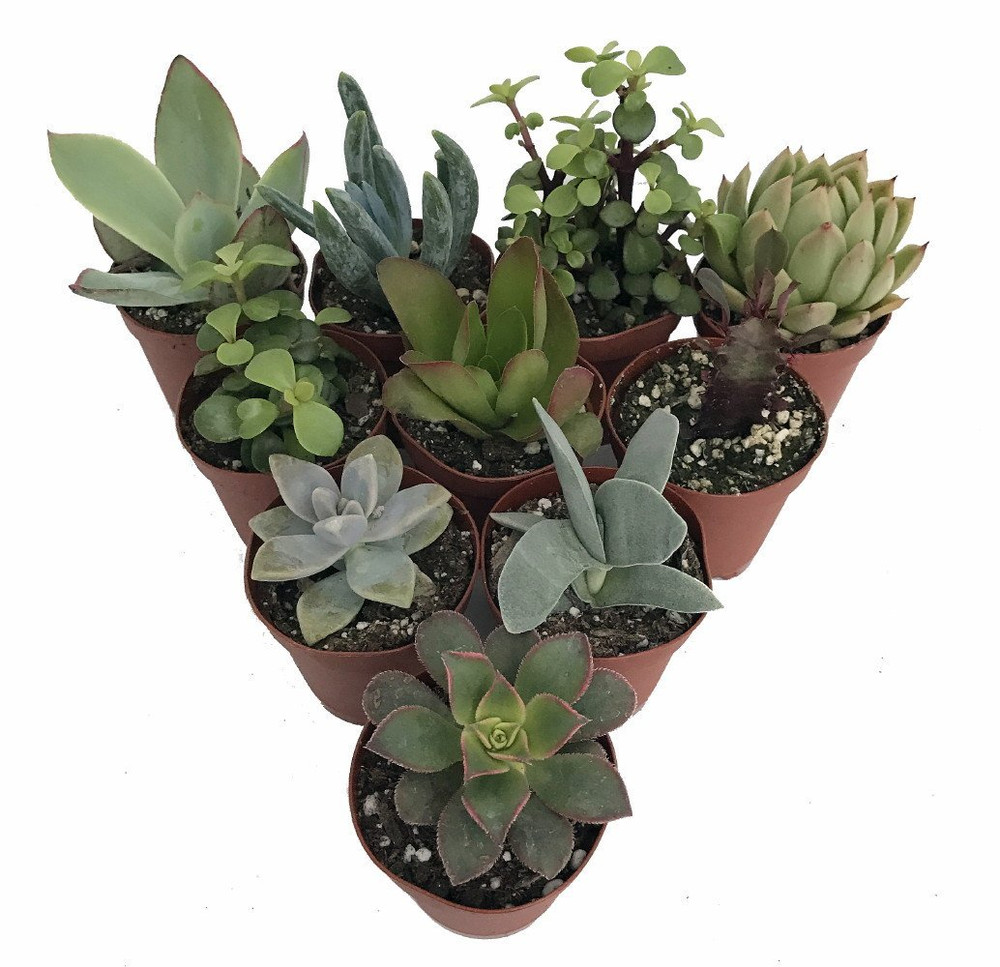 "Succulent Terrarium & Fairy Garden Plants - 10 Different Plants in 2"" Pots"