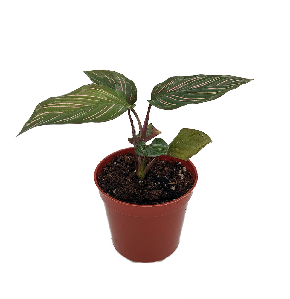 "Beauty Star Peacock Plant - Calathea - Easy House Plant - 2.5"" Pot"