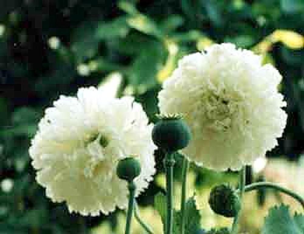 White Cloud Somniferum Poppy 200 Seeds