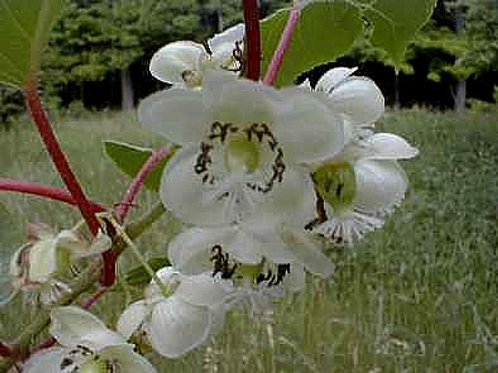Hirt's Hardy Anna Kiwi Plant - Actinidia - FEMALE - Tasty! - Gallon Pot