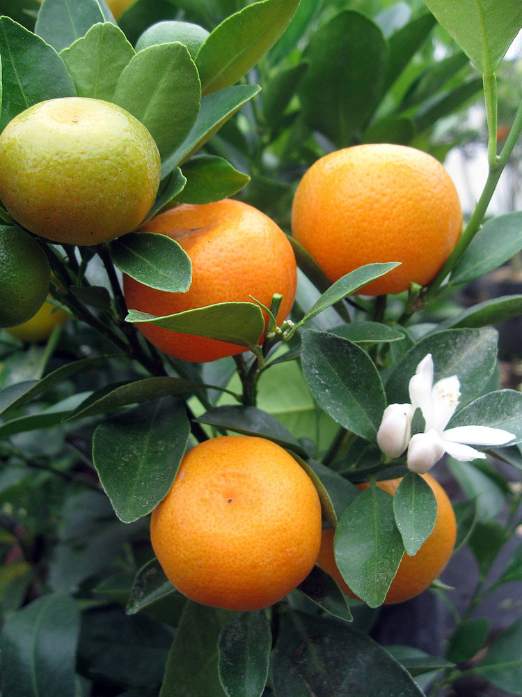 "Panama Orange Tree - Calamondin- 5"" Pot- No Ship To CA,FL,TX, AZ"