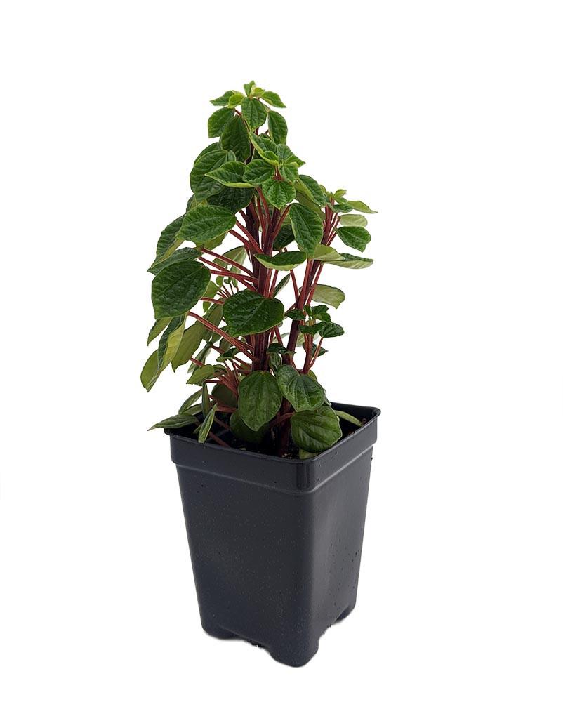 """Peperomia meridana 'Pixie' - 2.5"""" Pot - Easy to Grow House Plant"""