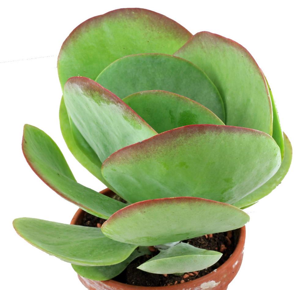 "Blushing Hearts Flapjack Plant - Kalanchoe thyrsiflora 'Tricolor' - 6"" Pot"