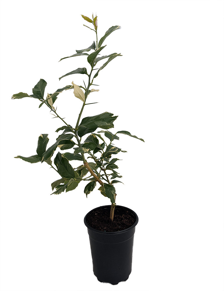 "Pink Variegated Eureka Lemon Tree - 5"" - Pot-Bush Form-NO SHIP TX,FL,AZ,CA,LA,HI"