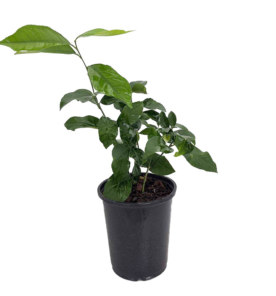 "Eureka Lemon Bush Form - 6"" Pot - NO SHIPPING TO TX, FL, AZ, CA, LA, HI"