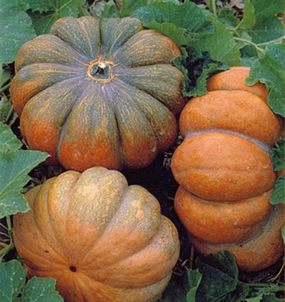 Musque de Provence Pumpkin 10 Seeds - Fairytale