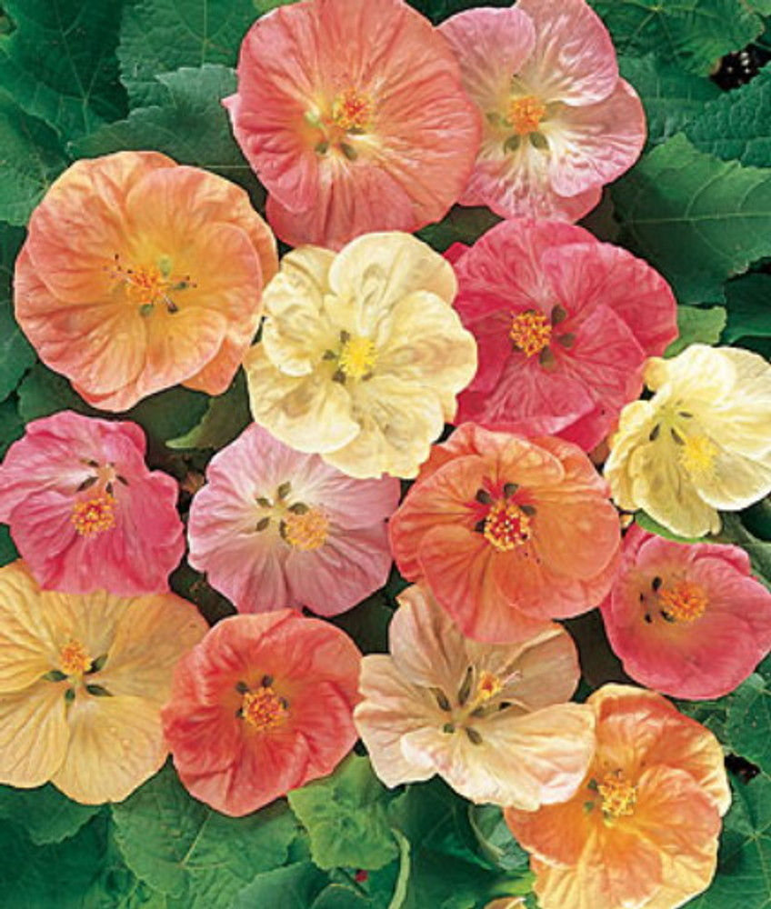 Flowering Maple 20 Seeds - Abutilon - Tropical