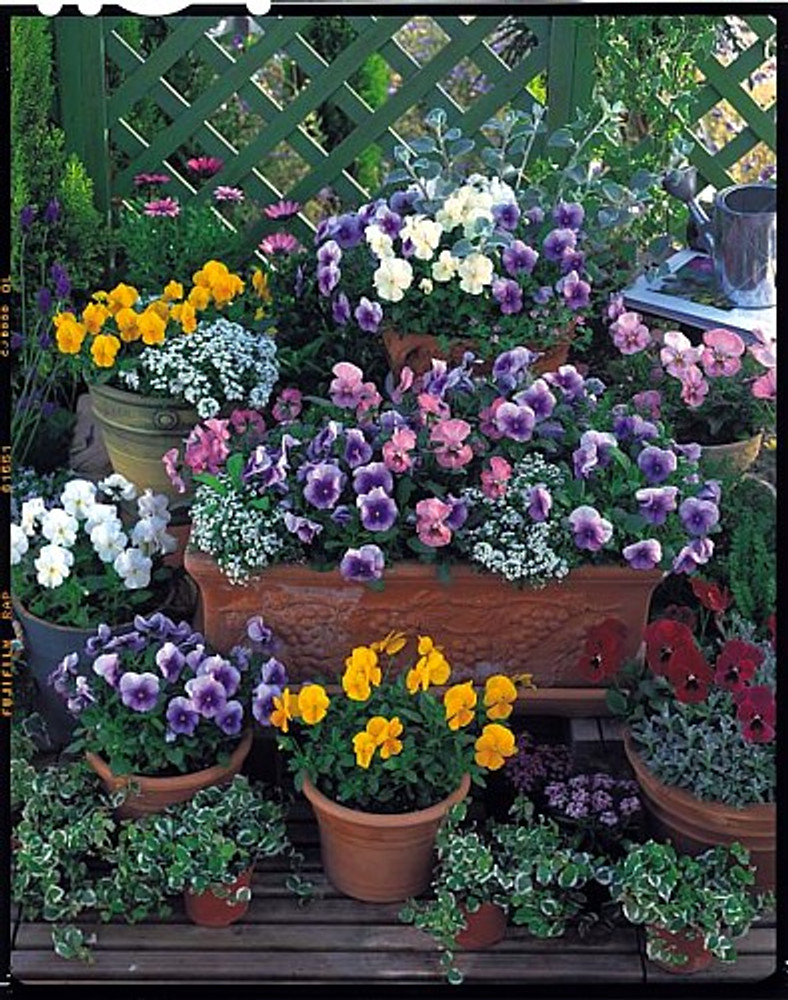 Nature Mix Pansy 30 Seeds - Hardy in Hot & Cold Temps.