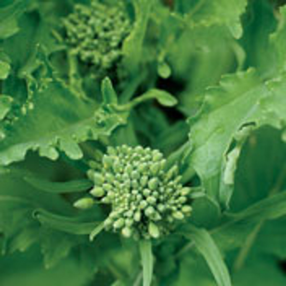 Broccoli Raab - 100 Seeds - Veggie